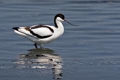 Avocet (Recurvirostra avosetta) (DerekL1) Tags: uptonwarren avocet recurvirostraavosetta bird avian wader water worcestershire uk