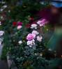 ILCE-7M2-00512-20180525-1847-Pano // Vivitar VMC Auto 55mm 1:1.4 (Tomioka) (Otattemita) Tags: 55mmf14 florafauna vivitarcosina vivitartomioka vivitarvmc vivitarvmcauto55mmf14 fauna flora flower nature plant wildlife vivitarvmcauto55mm114tomioka sony sonyilce7m2 ilce7m2 55mm cnaturalbnatural ota