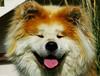 Musha de la Vallée des Diamants (valentin legendre) Tags: akitainu akita dog chien roux red officiel official fidele fidelite faithful