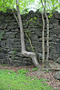 Bent Tree at Old Cotton Mill dam (Throwingbull) Tags: laurel md maryland city town incorporated municipal municipality mill dam patuxent river history historic riverfront park ruins bent tree cotton