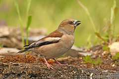 Hawfinch ♀ Coccothraustes coccothraustes (Roger Wasley) Tags: hawfinch female coccothraustescoccothraustes sierramorena mountains spain wild bird spanish