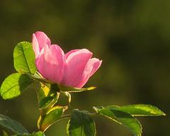 Wild Alberta Rose = MM All Natural (Gertrud Klopp) Tags: macro mondays all natural