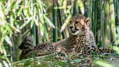 IMG_2304 (brian.a.stamper) Tags: acinonyxjubatus cheetah animal mammal