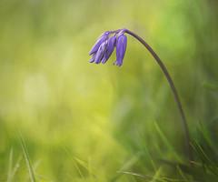 The Flower and the Glory (SkyeWeasel) Tags: bluebell flower plant depthoffield bokeh nature field grass closeup smileonsaturday preciouspurple ngc npc