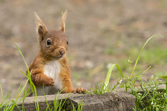 Red Squirrel (cazalegg) Tags: squirrel red