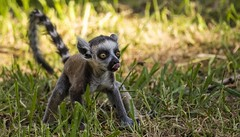 Baby Lemur - Blowing a raspberry-1 (tiger3663) Tags: baby lemur raspberry yorkshire wildlife park