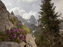 Primula glaucescens Moretti (f.mangili) Tags: primula glaucescens primulaceae flora alpina alpine campelli cimone della bagozza valle di scalve schilpario