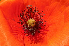 Poppies (ZdenHer) Tags: poppies flower red macro