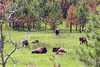 Buffalo daycare (Notkalvin) Tags: southdakota buffalo americanbison notkalvin mikekline notkalvinphotogarphy outdoor babies nopeople calves custerstatepark custer pringle landscape afterthefire blackhills nationalforest pinetrees grass rest relax reproduce young newborns newbies