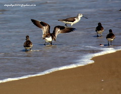 IMG_5055 Great Knot (Calidris tenuirostris) (vlupadya) Tags: greatnature animal aves fauna indianbirds great knot calidris kundapura karnataka