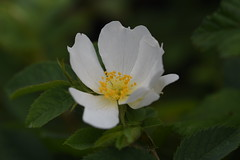 DSC_0061 (PeaTJay) Tags: nikond750 sigma reading lowerearley berkshire macro micro closeups gardens outdoors nature flora fauna plants flowers