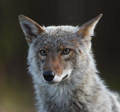 Coyote (Rayladur) Tags: animaux coyote valdor abitibi raymondladurantaye rayladur