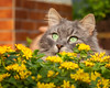 Fynn in the flowers (again) (FocusPocus Photography) Tags: fynn fynnegan katze kater cat chat gato tier animal haustier pet blumen flowers garten garden