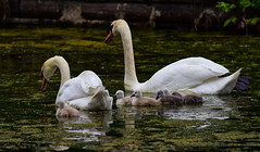 9802-1sm  Mute Swan Family (torriejonvik) Tags: family mute swan cygnet pond british columbia west vancouver pacific northwest