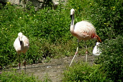 Lincoln Park Zoo (Tiger_Jack) Tags: lincolnparkzoo zoo zoos zoosofnorthamerica itazoooutthere bird birds flamingo flamingos