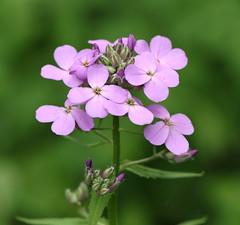 Dame's Rocket (explored 6/3/18) (vischerferry) Tags: damesrocket wildflower flora hesperismatronalis newyorkstate purplewildflower