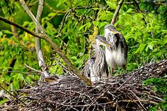 Heron Chicks (Geoff Henson) Tags: birds heron chicks trees nest beckenham kelseypark bromley london cute young