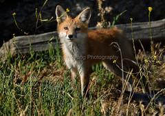 EdenLanding_060318_188 (kwongphotography) Tags: edenlandingecologicalreserve edenlanding wildlife wildlifephotography nature naturephotography eastbayregionalparks hayward california ca calif redfox fox unitedstates