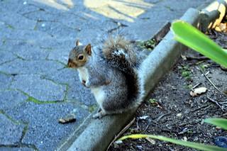 Kapstadt Companjies Garten graues Eichhörnchen
