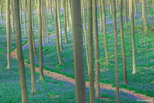 Forêt de Hal - Belgique