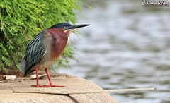 Don't be afraid to dive in with both feet (Shannon Rose O'Shea) Tags: shannonroseoshea shannonosheawildlifephotography shannonoshea shannon greenheron heron bird beak feathers wings colorful yelloweye orangefeet skinnylegs birdyfeet leaves diving board perch kiwanislakerookery york pennsylvania nature wildlife waterfowl fauna water lake art photo photography photograph butoridesvirescens canon canoneos80d canon80d eos80d 80d canon100400mm14556lisiiusm femalephotographer girlphotographer shootlikeagirl shootwithacamera throughherlens outdoors outdoor tree rookery wild wildlifephotography wildlifephotographer wildlifephotograph