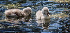 two cygnets , Vancouver. (gks18) Tags: birds cygnets swans canon nature lightroom nik