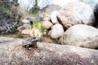 California Treefrog (Pseudacris cadaverina)