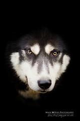 Siberian spirit (Magic Dogs Photography - Elisa Pirat) Tags: husky dog pets chien sibérien nordic animal noir blanc portrait photography photographie nikon regard eyes