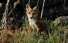 EdenLanding_060318_203 (kwongphotography) Tags: edenlandingecologicalreserve edenlanding wildlife wildlifephotography nature naturephotography eastbayregionalparks hayward california ca calif redfox fox unitedstates