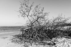 """Thorns Of The Beach"" (So Fluid) Tags: landscape landscapephotography water gulf birds sun morning color animal cool relaxing sofluid canon canonrebel sigma bird ocean sea sky beach sand blackandwhite blackandwhitephotography bw monochrome"