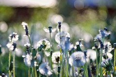 Dandelion (Stefano Rugolo) Tags: stefanorugolo pentax k5 pentaxk5 ricohimaging smcpentaxm100mmf28 dandelion taraxacumofficinale backlight light bokeh spring magic countryside depthoffield maskrosor
