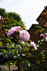 DSC_0148 (PeaTJay) Tags: nikond750 reading lowerearley berkshire macro micro closeups gardens outdoors nature flora fauna plants flowers rose roses rosebuds