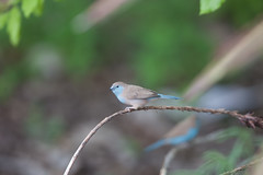Blue waxbill. (annick vanderschelden) Tags: bluewaxbill waxbill bird wilderness vegetation selectivefocus branch namibia