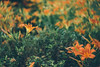 Impressionism (freyavev) Tags: novisad serbia srbija vojvodina dunavskipark lilly lillies orange green flowers impressionism lensbaby lensbabytwist canon canon700d nature outdoor mikasniftyfifty vsco