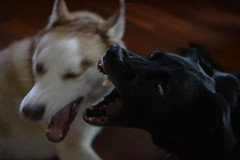 Rigby and Mako playing (kennykunie) Tags: dogs husky labrador playing