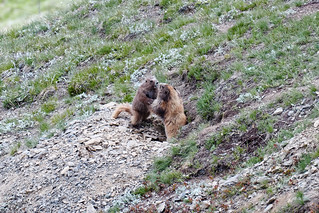 Olympic Marmots Arguing