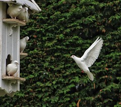 'Come fly with me!' 9/30 😁 (LeanneHall3 :-)) Tags: lyrics challenge dove doves dovehouse birds white feathers green leaves burnby burnbyhallgardens pocklington nature canon 1300d