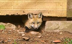 IMGL1334 Pugwash Red Fox Kit(s) (Wallace River) Tags: foxes novascotia pugwashfoxes redfoxes