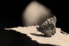 Private Dancer (nyanc) Tags: privatedancer butterfly speckledwood monochrome close d5200 europe europa flickr insect limburg lente macro male nikon netherlands nature nederland natuur outdoor prime spring tree vleugels vlinder wildlife wings