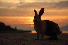 Sunrise (Teruhide Tomori) Tags: rabbit wild animal ohkunojimaisland hiroshima takehara japan japon ウサギ アナウサギ 大久野島 広島 竹原 瀬戸内海 setoinlandsea 動物 野生 nature 自然 beach sunrise