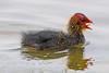Coot    chick (drbut) Tags: coot fulicaatra rails crakes coots water aquatic lakes sea avian wildlife nature canonef500f4lisusm