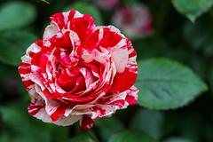 International Gardens (Hailey Owens) Tags: flowers oregon portlandoregon 50mm canon 80d dof bokeh