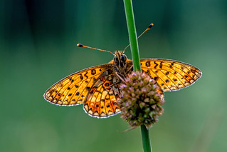 Small Pearl Bordred Fritillary