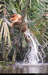 Proboscis Monkey jumping out of the water, Tanjung Puting NP, Borneo, Indonesia (JH_1982) Tags: proboscis monkey longnosed bekantan nasenaffe nasalis larvatus affe primat 長鼻猴 テングザル 코주부원숭이 носач animal wildlife tier jumping jump water river monyet belanda rainforest forest nature tanjung puting national park np pn parc nacional nationalpark taman nasional танджунгпутинг regenwald kalimantan borneo pulau 婆罗洲 ボルネオ島 보르네오섬 калимантан indonesia indonesien indonésie 印度尼西亚 インドネシア 인도네시아 индонезия