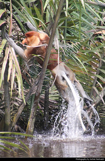 Proboscis Monkey jumping out of the water, Tanjung Puting NP, Borneo, Indonesia