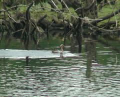 Record shot : Garganey (Dr Nigel) Tags: northeast england panasonic lumix dmcfz8 wildlife nature naturereserve lowbarns lowbarnsnaturereserve dwt bishopauckland countydurham water lake bird duck garganey raynox dcr2025pro teleconverter anasquerquedula