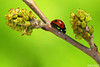 Between (Vie Lipowski) Tags: ladybug ladybird ladybeetle insect beetle bug tree shrub plant spring wildlife nature macro