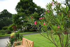 Oleanders over a Bench (Snapping Beauty) Tags: landscape flowers garden green nature 2018 publicpark vibrantcolor day leaves stills virginia colors places years spring natural foliage bench floral abstract background peace things beautyinnature seasons oleander photography nopeople clean scenery bloom horizontal petal organic esp