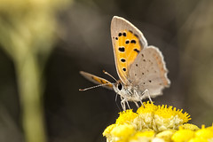 Lycaena phlaeas (Jaume Bobet) Tags: lycaena phlaeas lepidoptera lycaenidae mariposa insecto macro bobet canon sigma