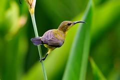 Olive-backed Sunbird (Cinnyris jugularis) female (R-Gasman) Tags: travel bird olivebackedsunbird cinnyrisjugularis female nationalorchidgarden singapore